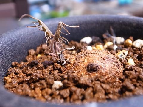 20130504_Dorstenia barnimiana v. palmata