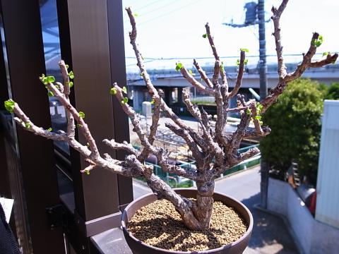 20130509_Jatropha pelargoniifolia v. sublobata