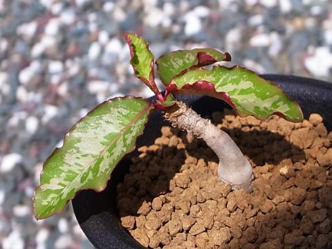 20130527_Euphorbia cremersii