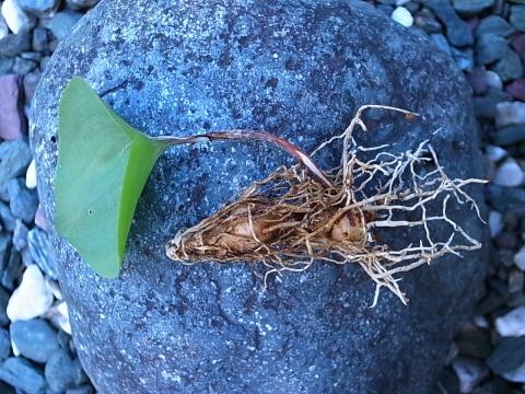 20131027_Eriospermum sp._2