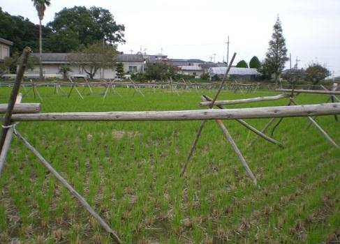 2013-11-9孫生え風景1