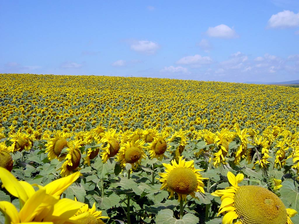 sunflower2[1]