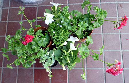 植え込み花苗4種・6鉢