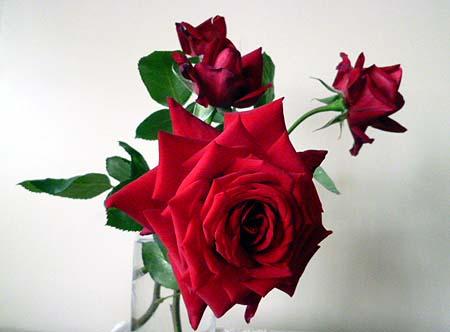 夫栽培の薔薇