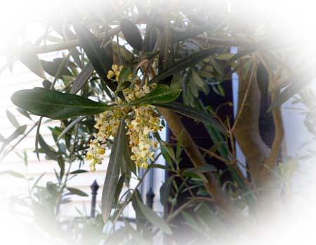 2 オリ-ブの花
