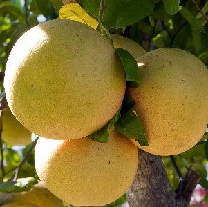 grapefruit8.jpg