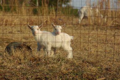 双子の仔ヤギ