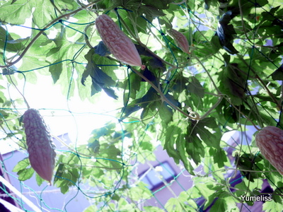 白ゴーヤプランター栽培