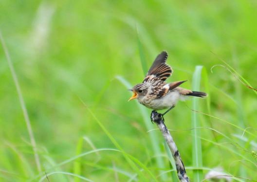 ノビタキ幼鳥