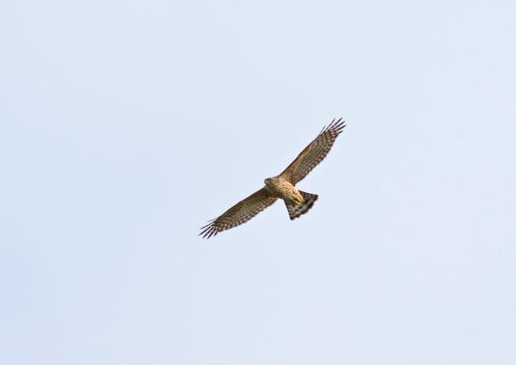 オオタカ若鳥