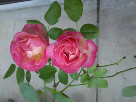 我が家のバラ2013
