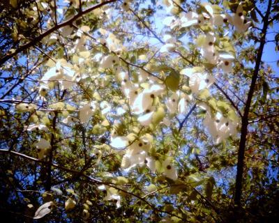 ハンカチの木:Entry