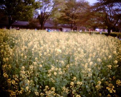 菜の花畑・国営昭和記念公園:Entry