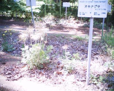おきなぐさ・小石川植物園:R2