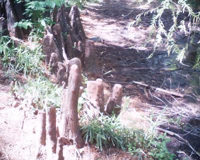 ラクウショウ、ニョキニョキ・小石川植物園:R2