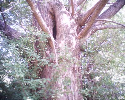 イチョウのウロ・小石川植物園:R2