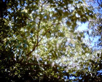 ハンカチノキ・小石川植物園:Entry