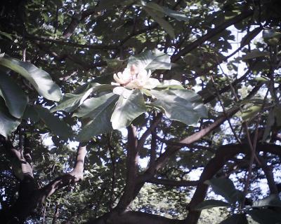 ホオノキの花・新宿御苑