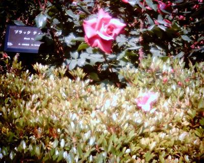 ブラックティー(バラ)・新宿御苑:Entry