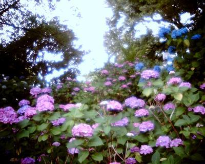 アジサイ・多摩川台公園:Entry