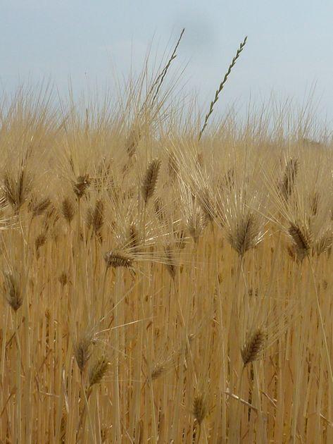 小麦畑のアップ