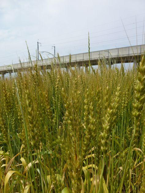 新幹線高架と大麦アップ