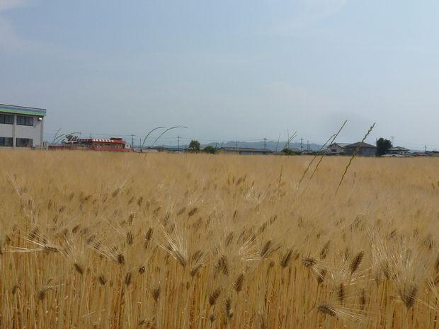 赤い屋根と小麦畑