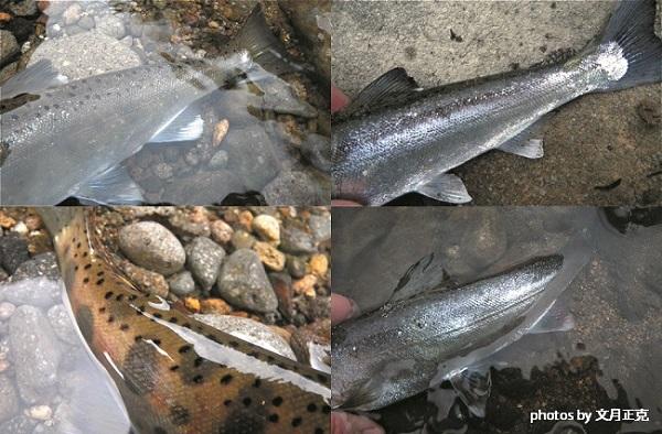 文月-標識魚-集合