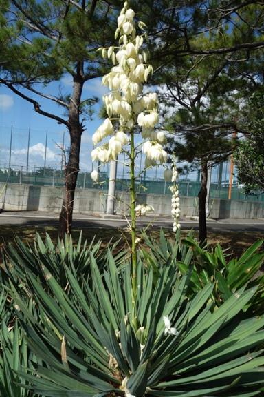 DSC03382 - 運動公園のキミガヨラン