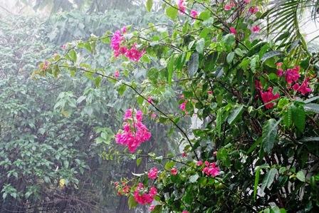 雨のブーゲンビリア