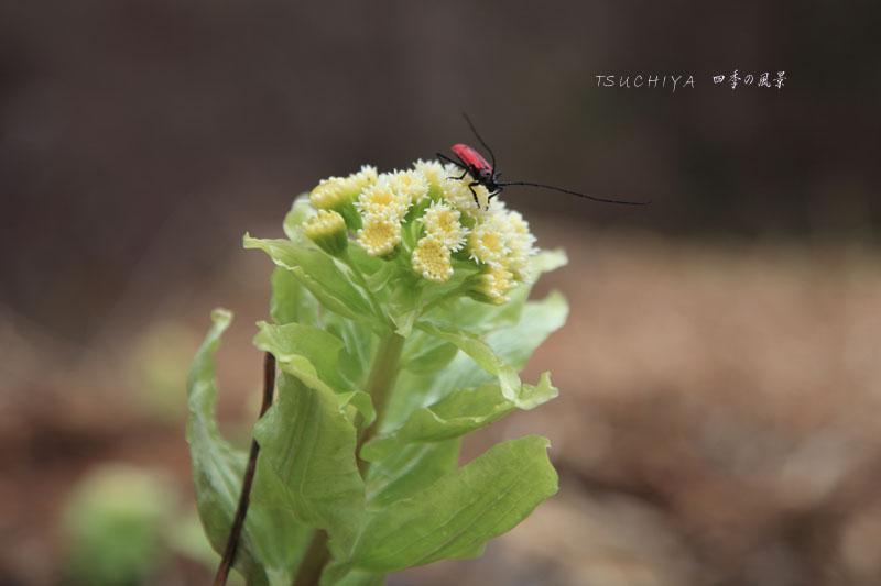 フキノトウ 昆虫