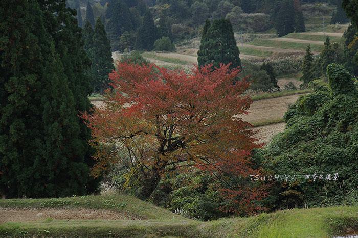 松之山 桜