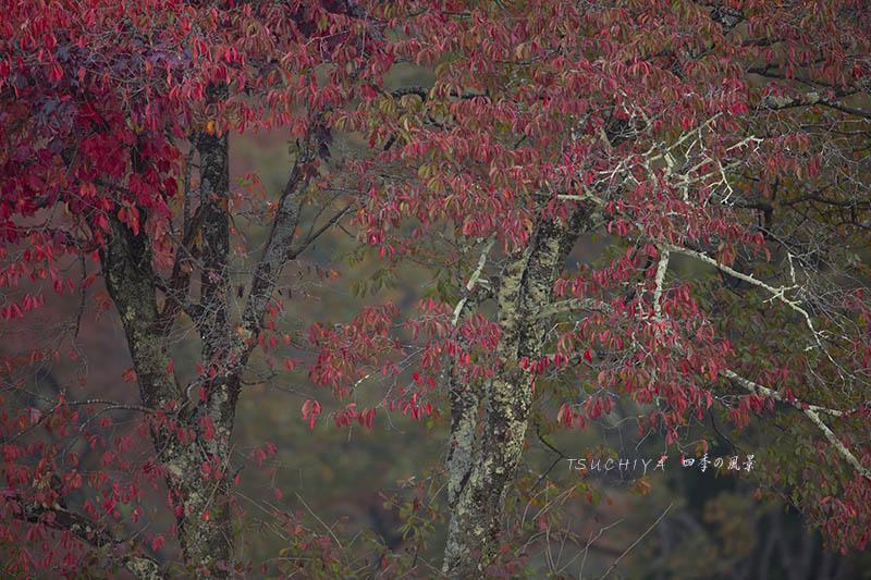 新潟 柿の紅葉