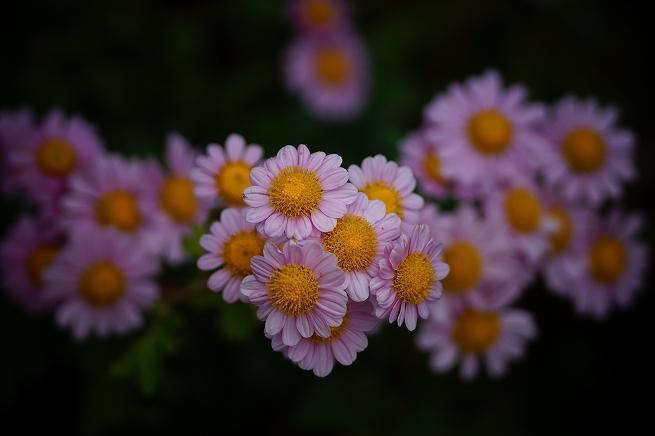 kiku201311.jpg