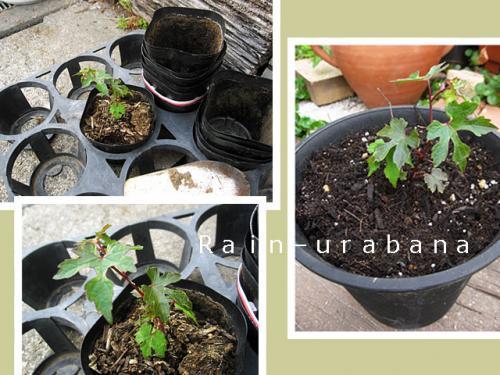 アナタは鉢植えです!