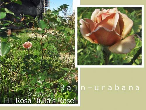 ジュリアも咲いてた...