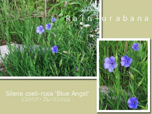 ブルーエンジェルも咲いた咲いた!