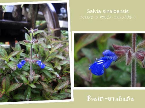 2年目のコスミックブルー咲きました♪