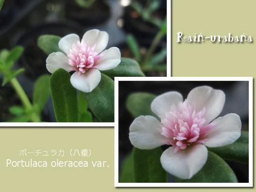 薄ピンク色の八重咲きポーチュラカ♪