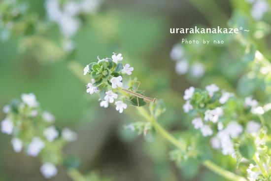 タイムの花とちっちゃなカマキリ