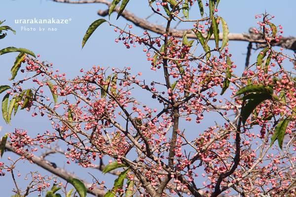 剣山にて 大きなマユミの木
