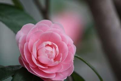 IMG_7009 しだれ桜1