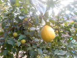 12月の檸檬