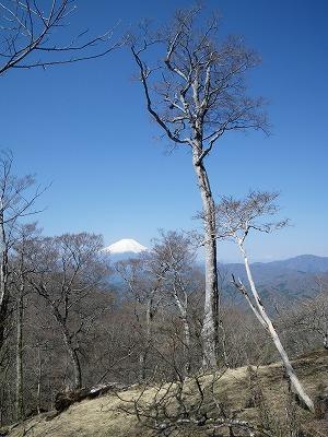 ブナの向こうに富士山