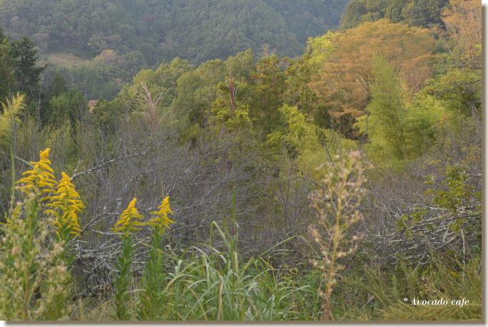 背高泡立草と欅