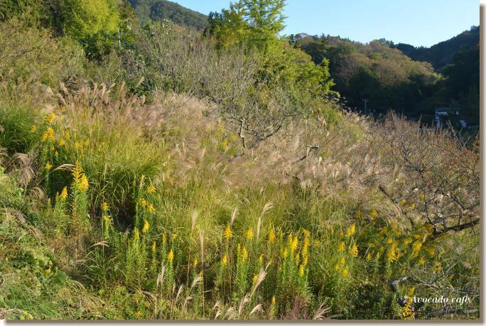 背高泡立草と芒