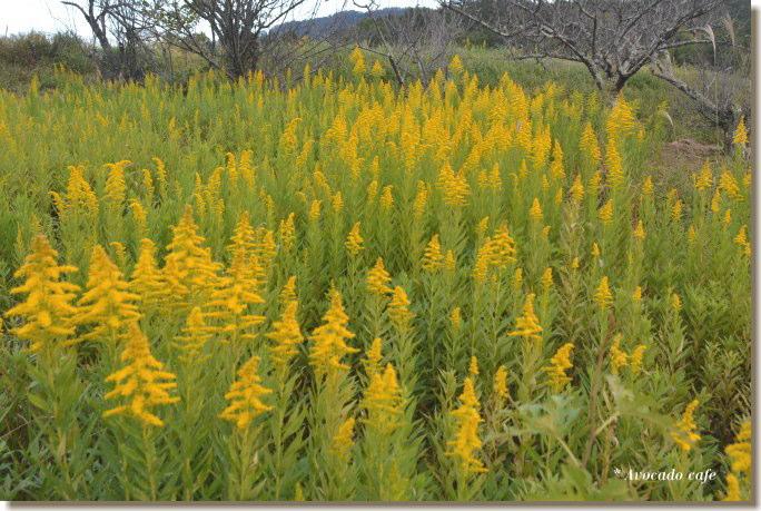 刈られる前の背高泡立草