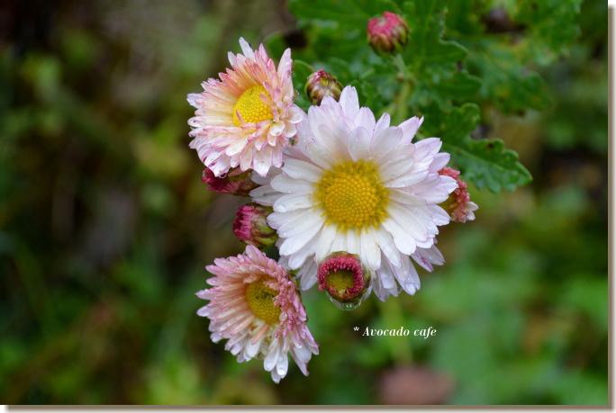 菊の花(ピンク)