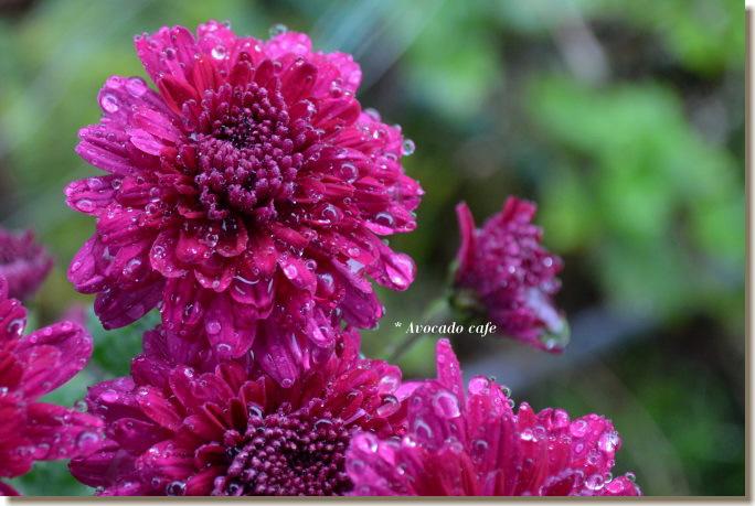菊の花(紫)