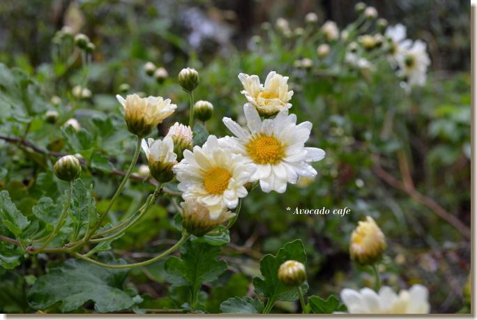 菊の花(白)